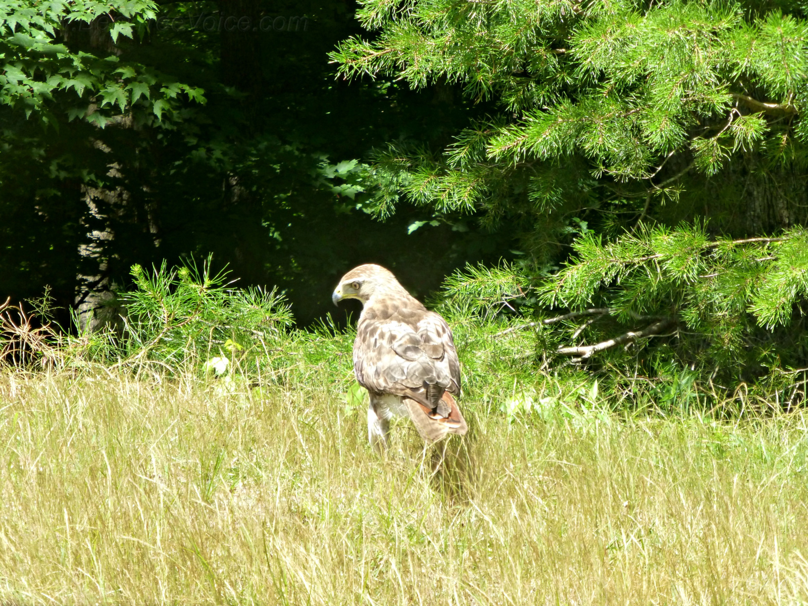 June 22, 2018 - Hawk on Hole 8, Bent Tree Golf Course