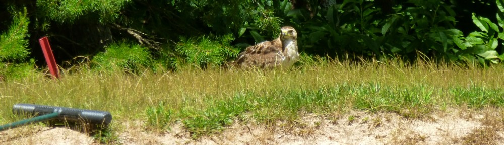 June 22, 2018 - Hawk behind a sand trap on Hole 8