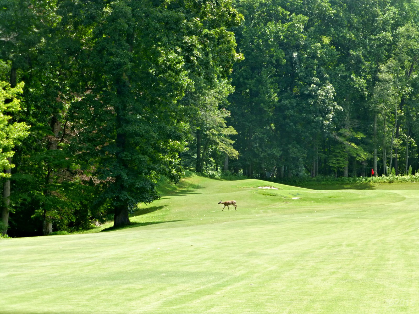 July 27, 2018 - Deer crossing Hole 11 on the Bent Tree Golf Course