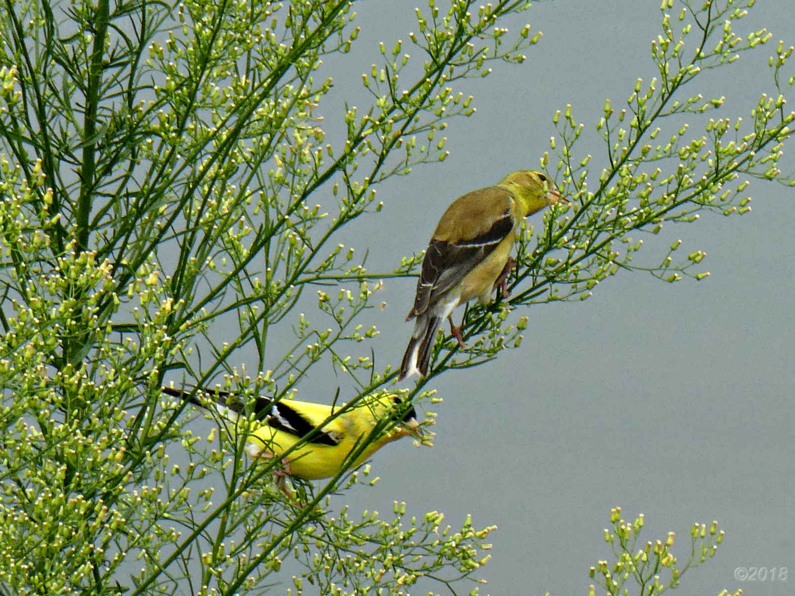 July 27, 2018 - Goldfinches at the Lake Tamarack Dam in Bent Tree