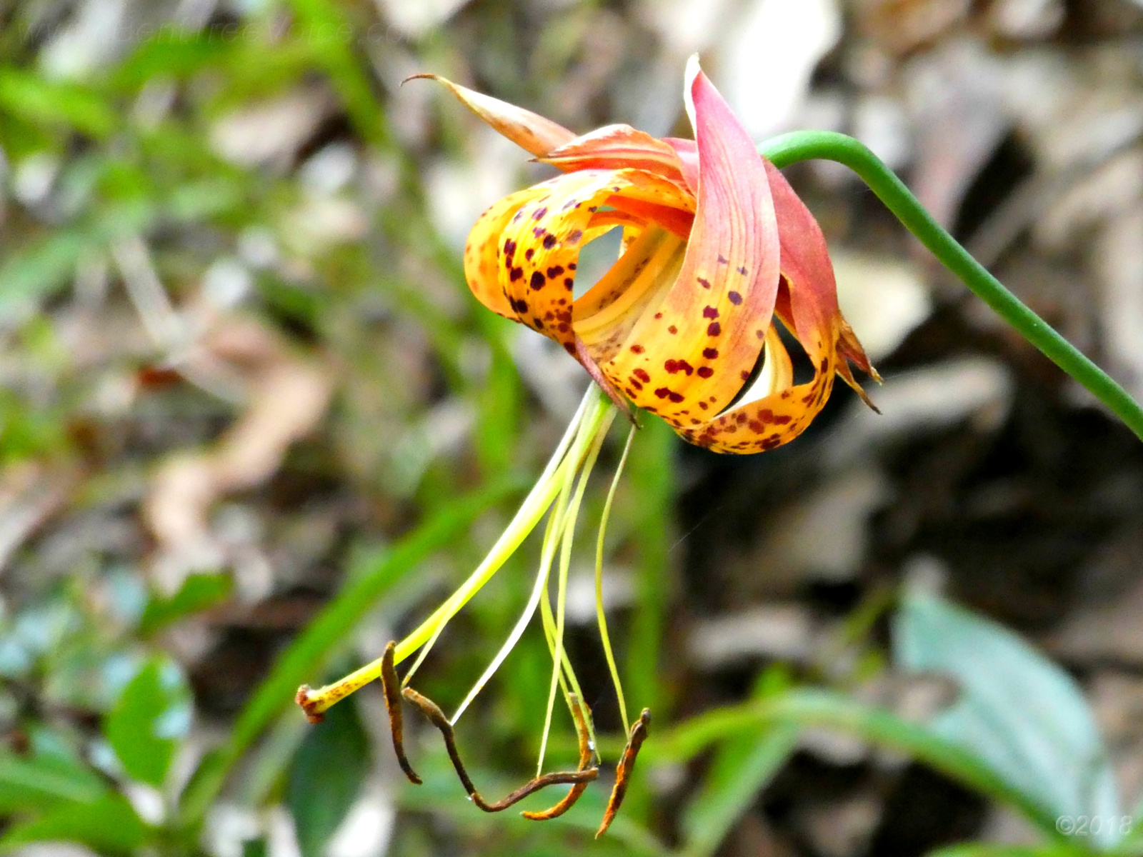 July 29, 2018 - Turk's Cap Lily in Bent Tree