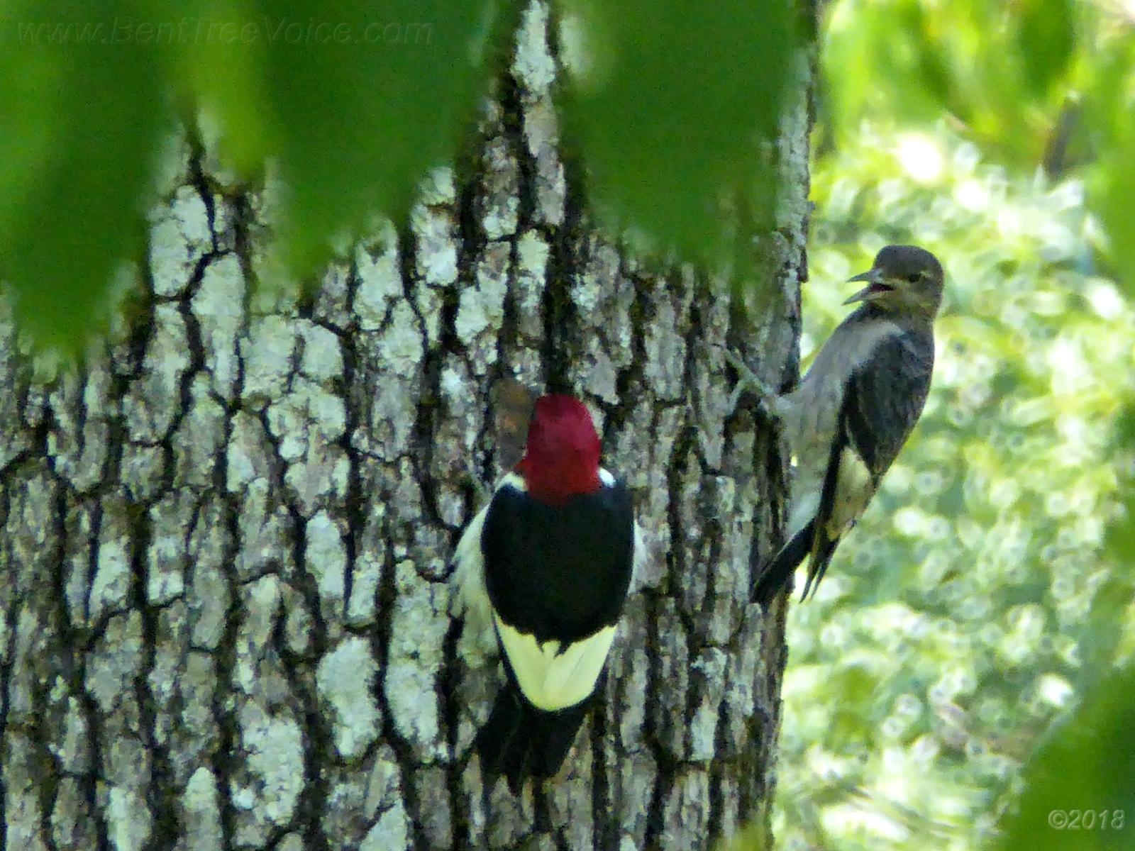 July 30, 2018 - noisy juvenile red-headed woodpecker in Bent Tree