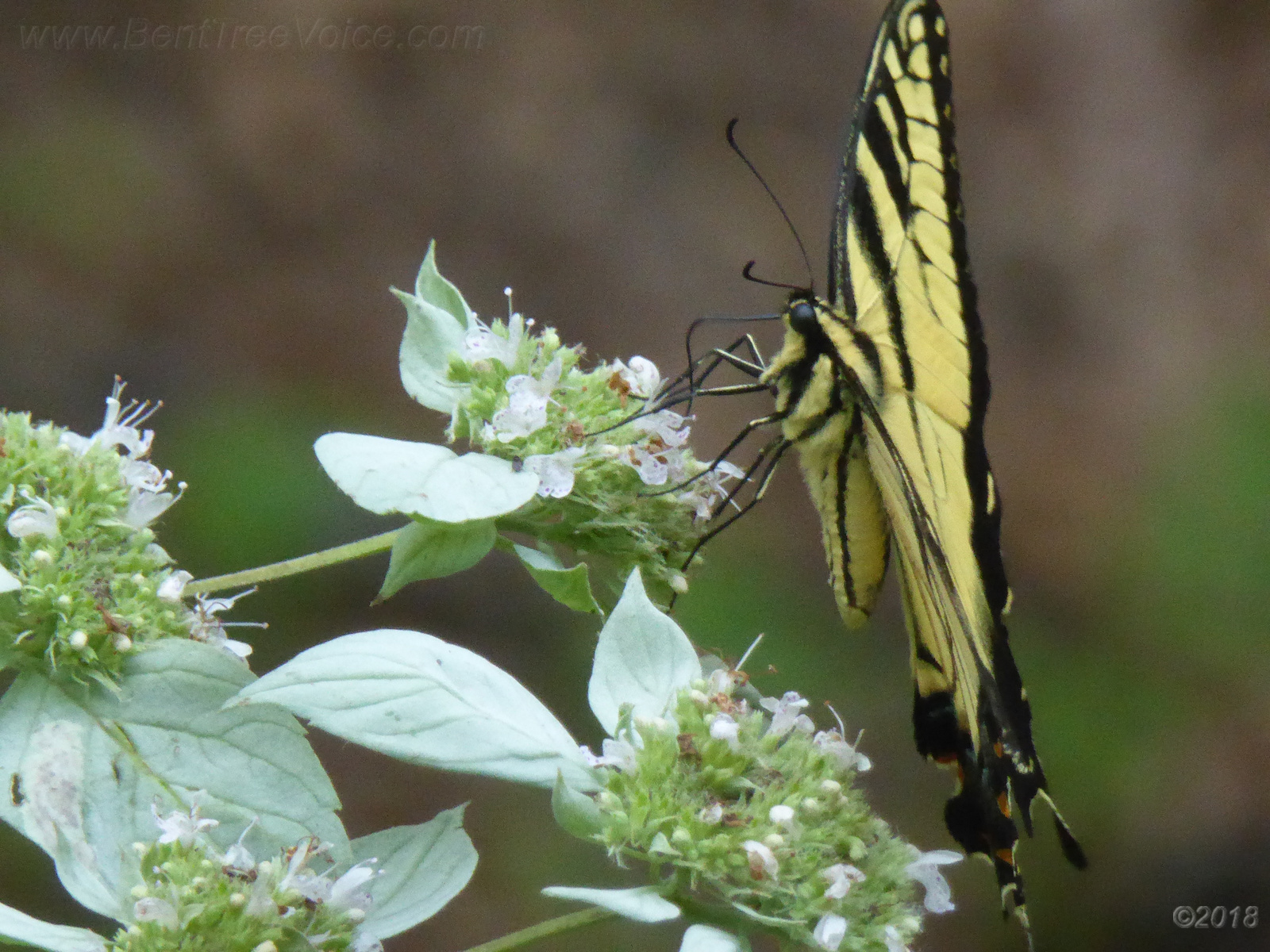 August 11, 2018 - Butterfly on Mountain Mint in Bent Tree