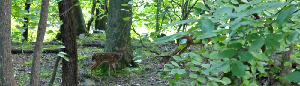 August 8, 2018 - a fawn sighting in the morning
