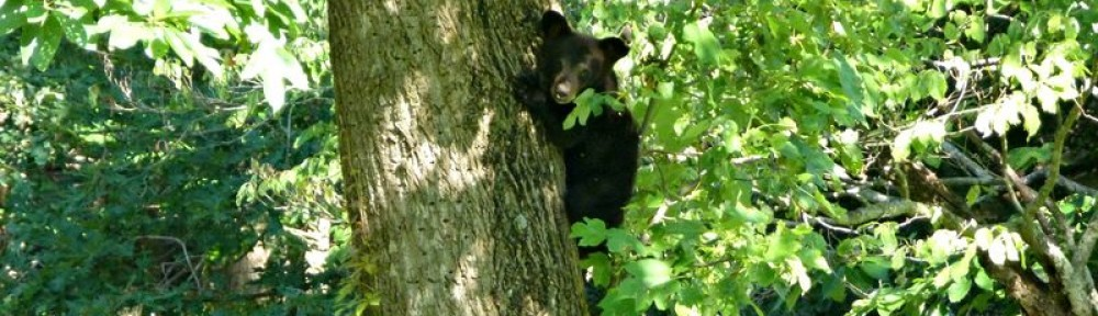 cropped-cropped-2012-0526-bear-cub-in-tree.jpg