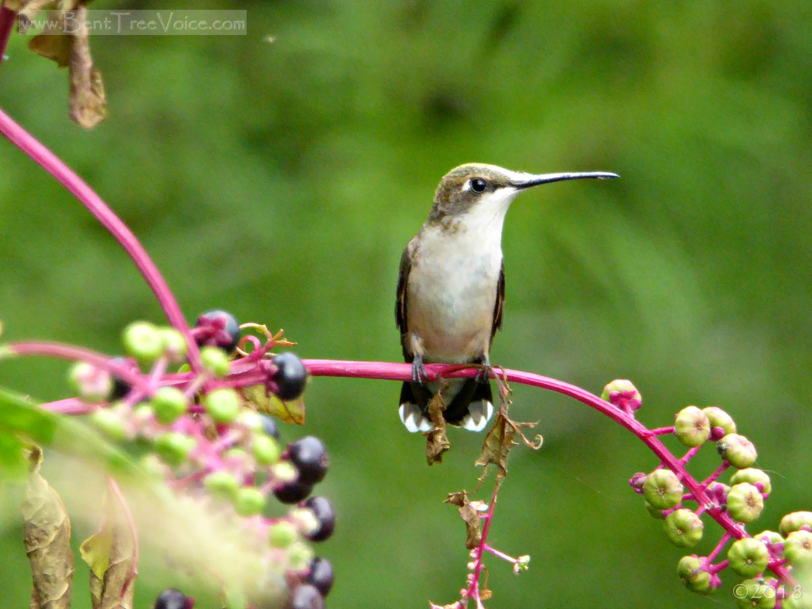 September 5, 2018 - hummingbird on pokeweed in Bent Tree