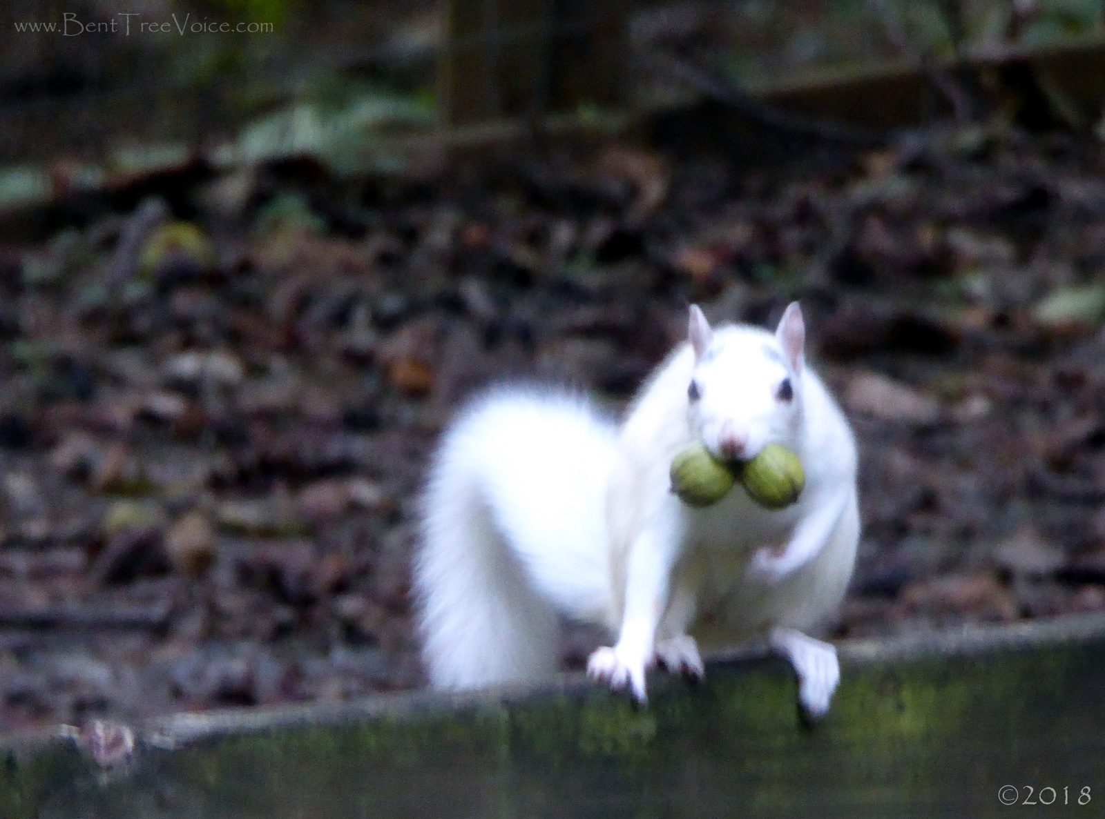 September 11, 2018 - White Squirrel in Bent Tree