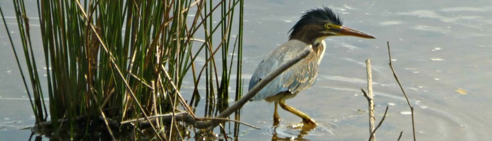 cropped-2018-0813-green-heron-shaggy-header.jpg