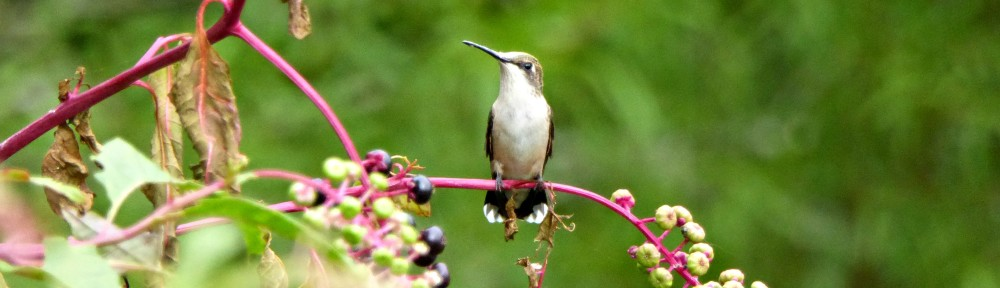 cropped-2018-0905-hummingbird-poke-weed-header.jpg