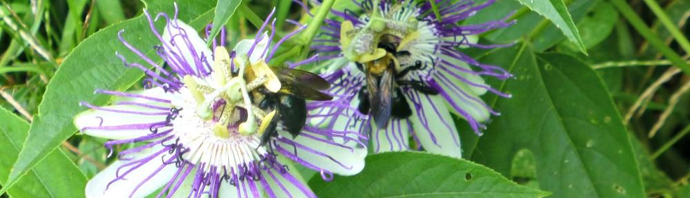 cropped-2018-0812-passionflower-vine-bees-header.jpg