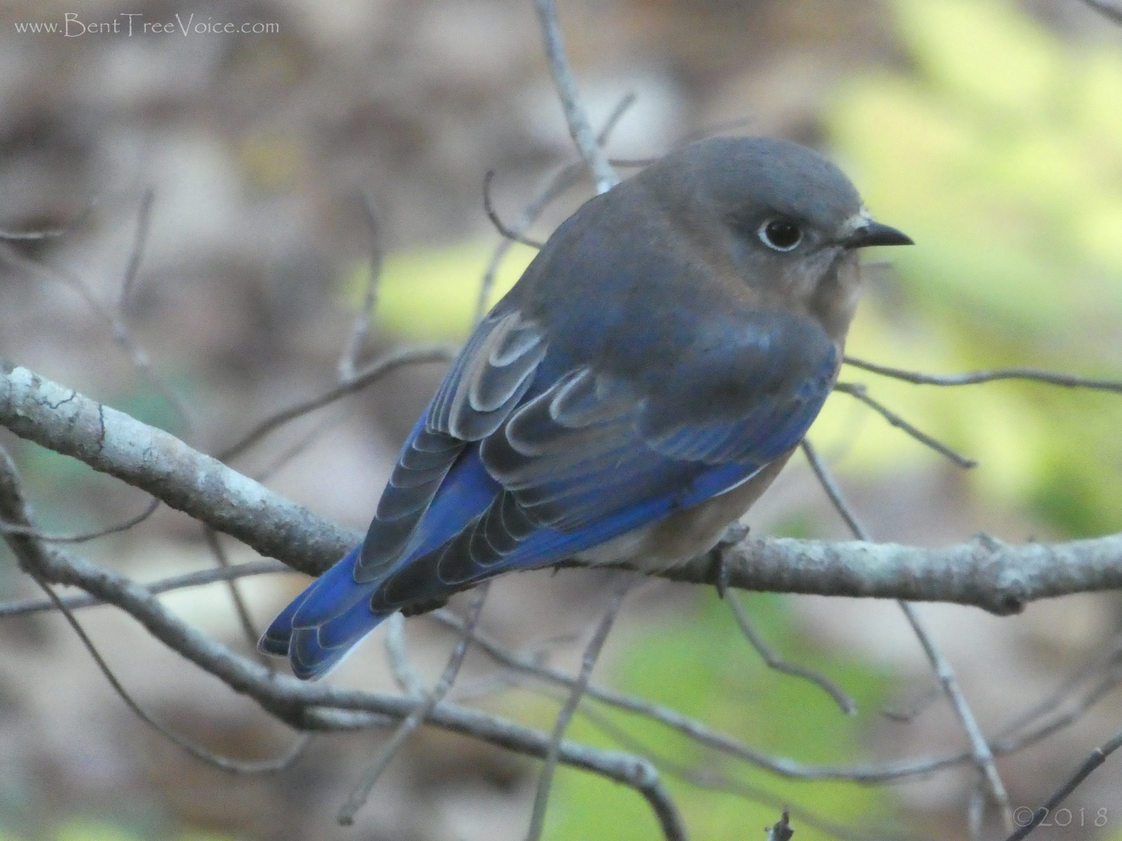 November 22, 2018 - bluebird in Bent Tree