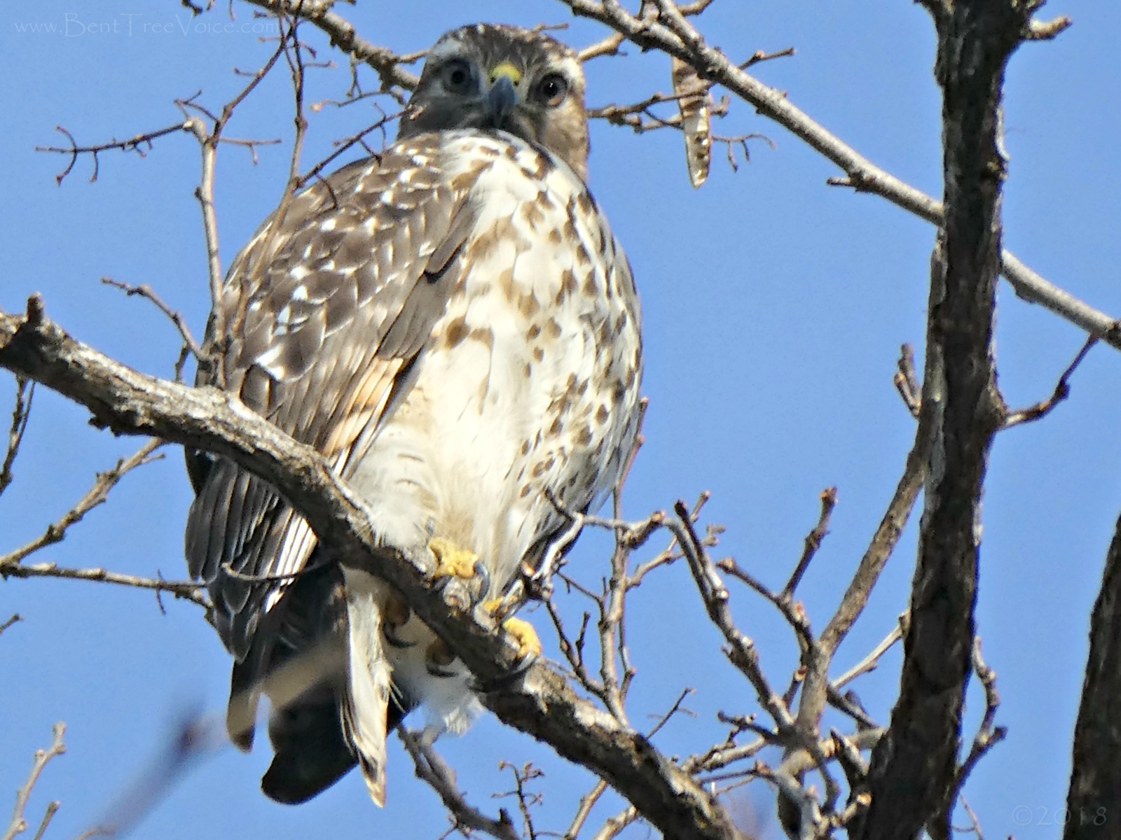 November 26, 2018 - Hawk at the Quarry in Bent Tree