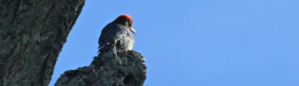 cropped-2018-1125-red-bellied-woodpecker-header.jpg