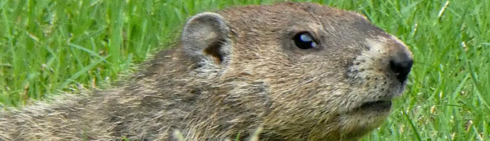 2017 - Groundhog in Bent Tree