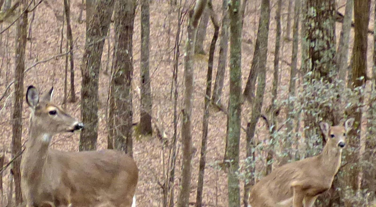 February 10, 2019 - Deer in Bent Tree