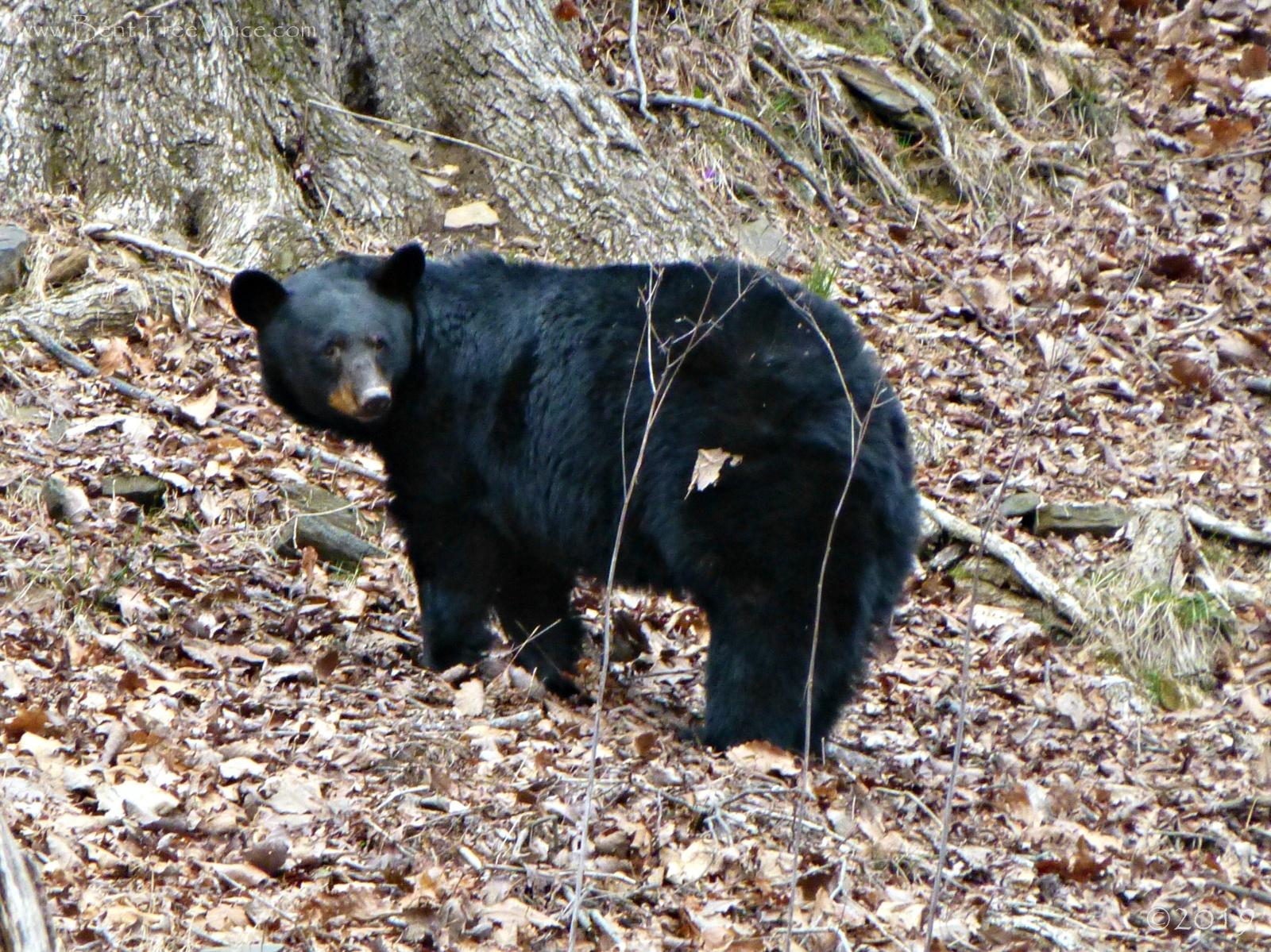 February 26, 2019 - Black Bear in Bent Tree