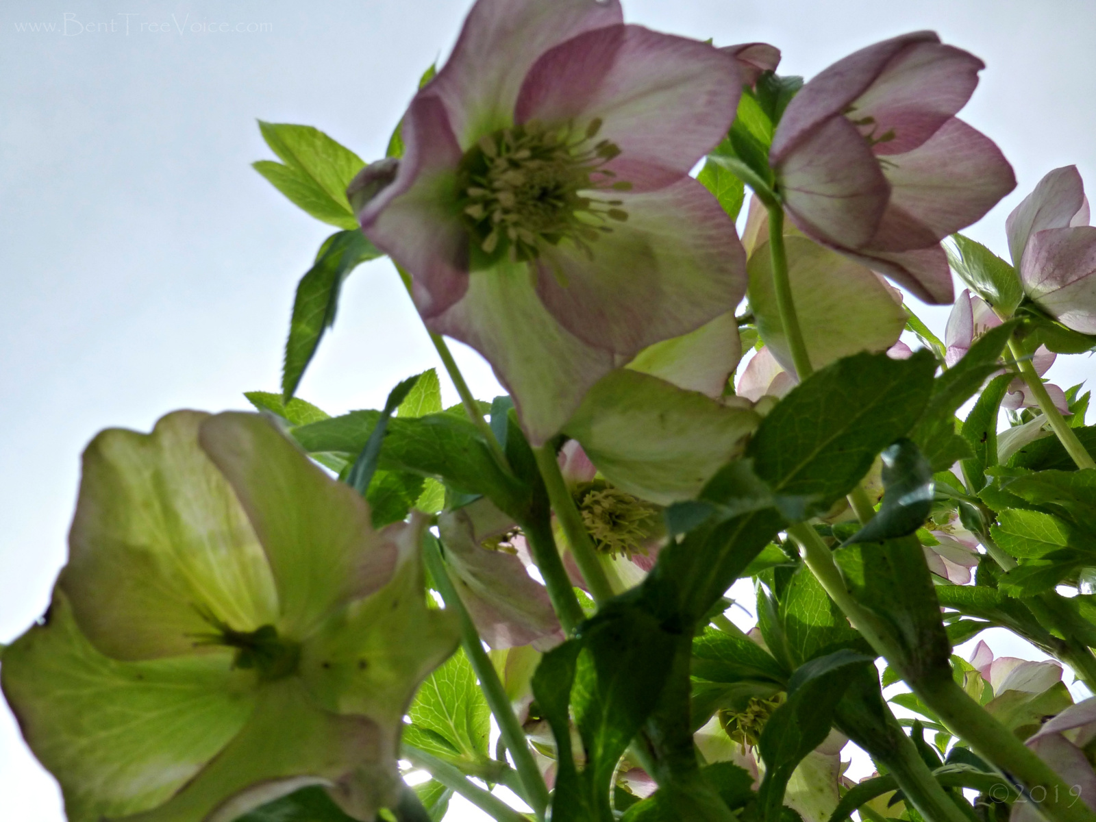 March 2, 2019 - Lenten Rose on Hole 7