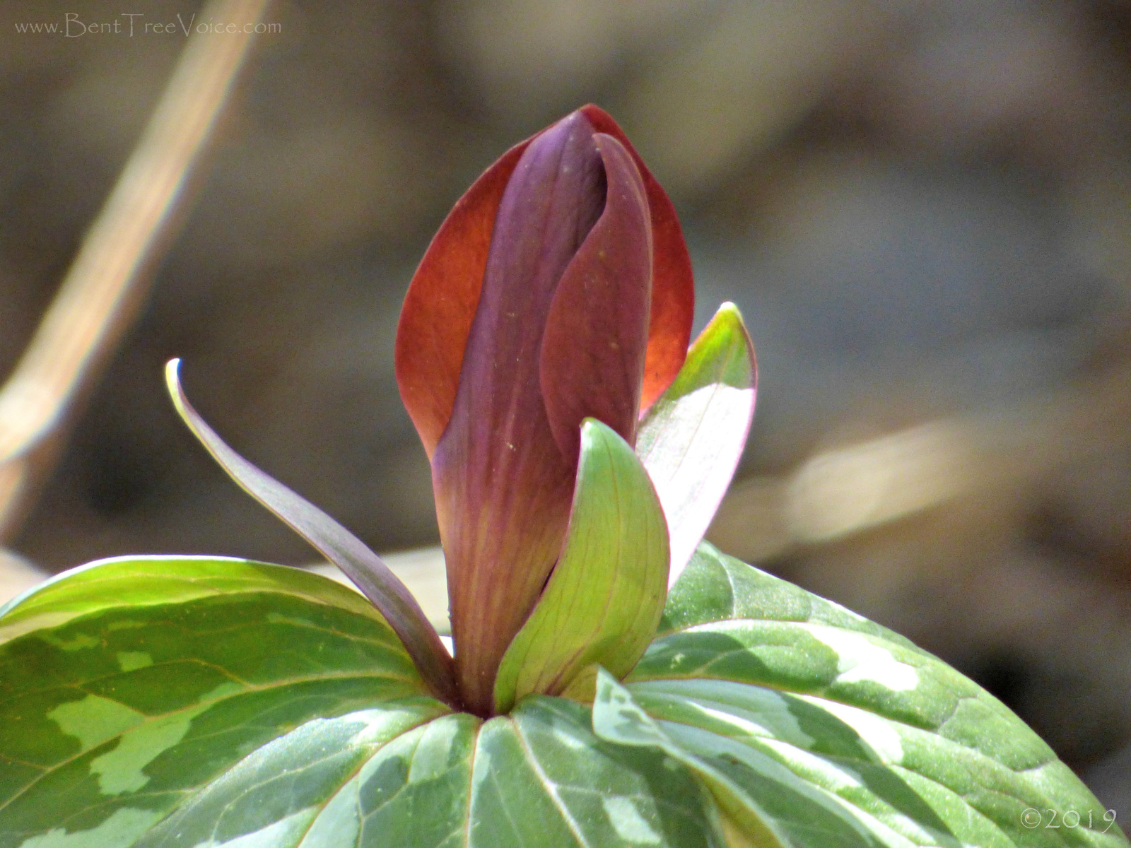March 7, 2019 - Trillium cuneatum in Bent Tree