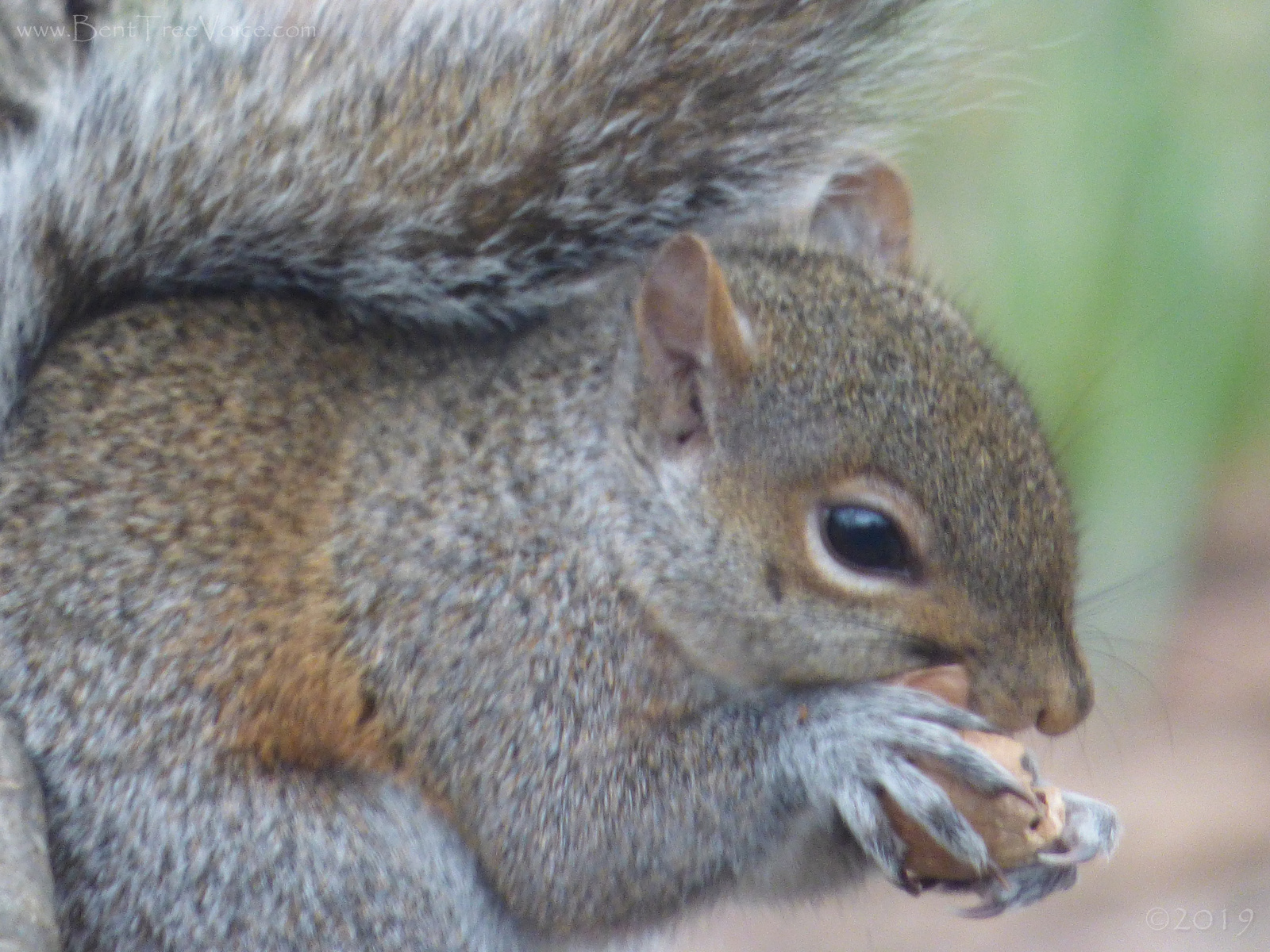 March 21, 2019 - Squirrel eating a nut in Bent Tree