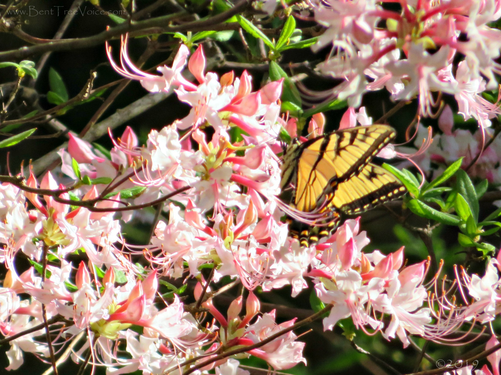 April 17, 2019 - Butterfly on wild azalea in Bent Tree