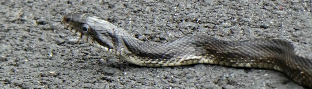 March 30 - Black Rat Snake in Bent Tree