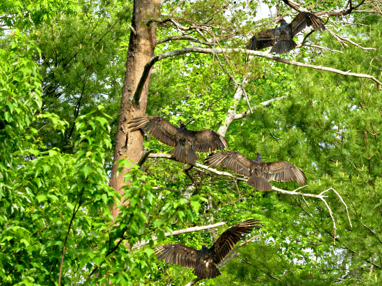 April 28, 2019 - Turkey Vultures in Bent Tree