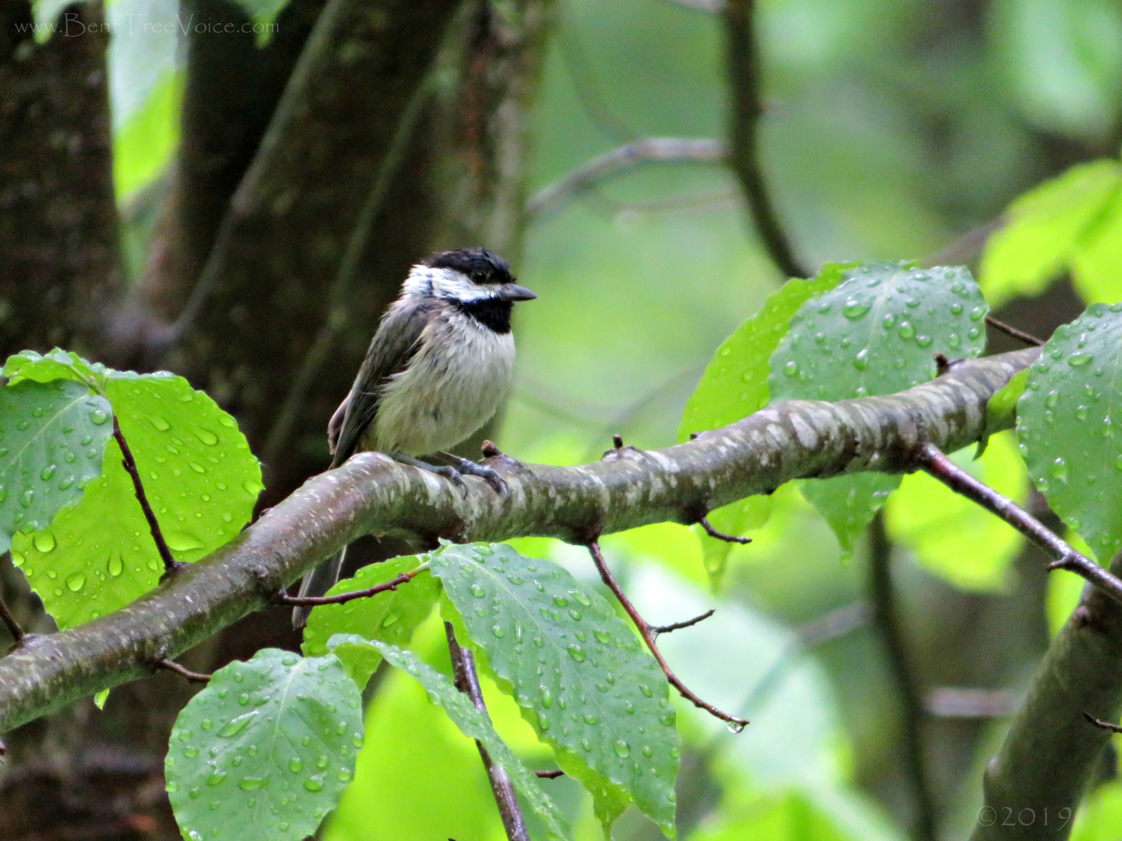 May 1, 2019 - A slightly soggy chickadee in Bent Tree