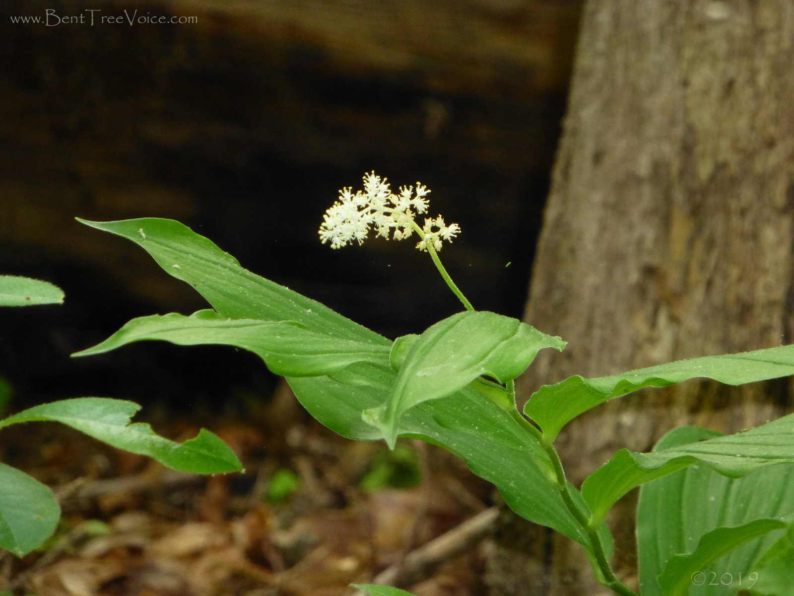 May 4, 2019 - False Solomon's Seal in Bent Tree