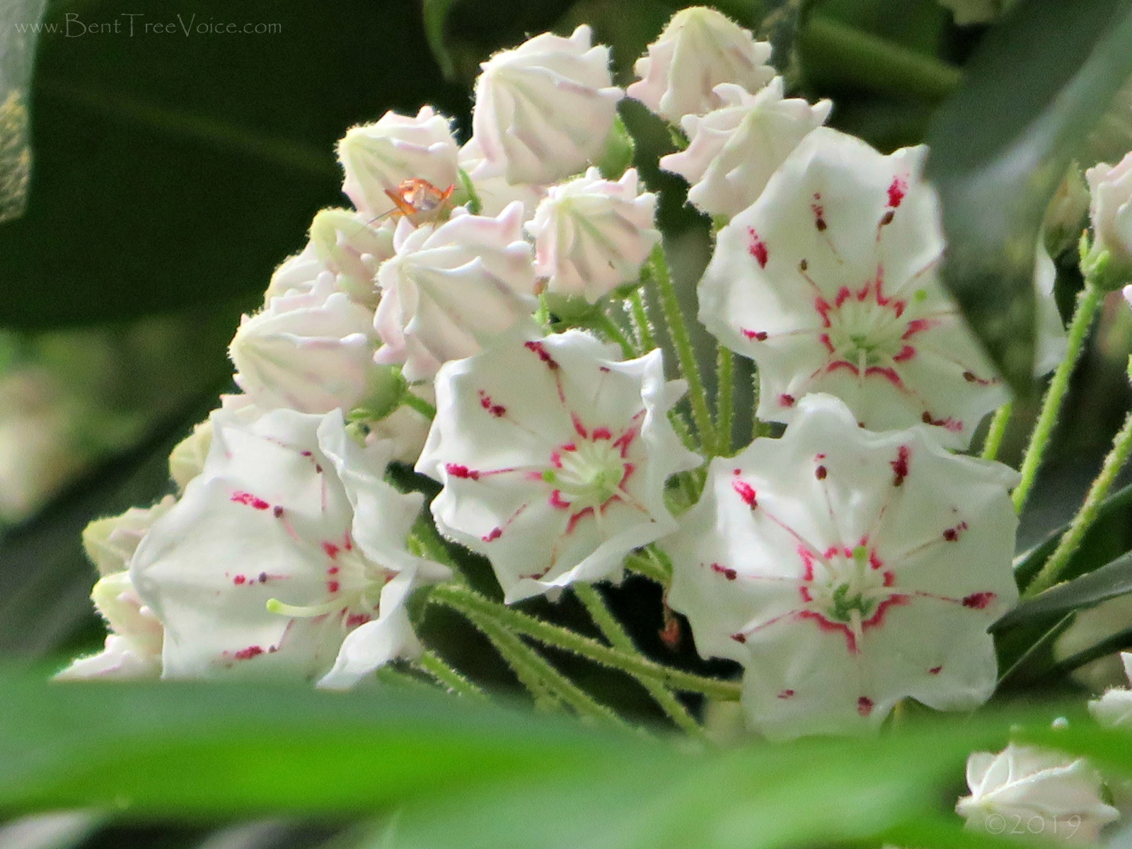 May 4, 2019 - Mountain Laurel in Bent Tree