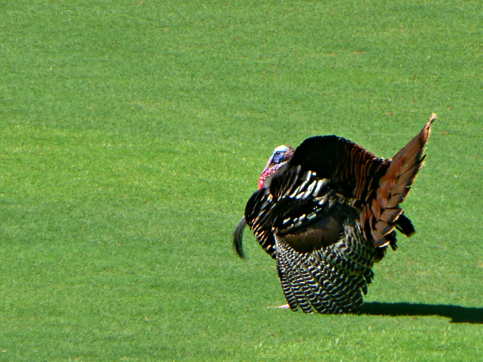 May 5, 2019 - Turkey on #9 fairway in Bent Tree