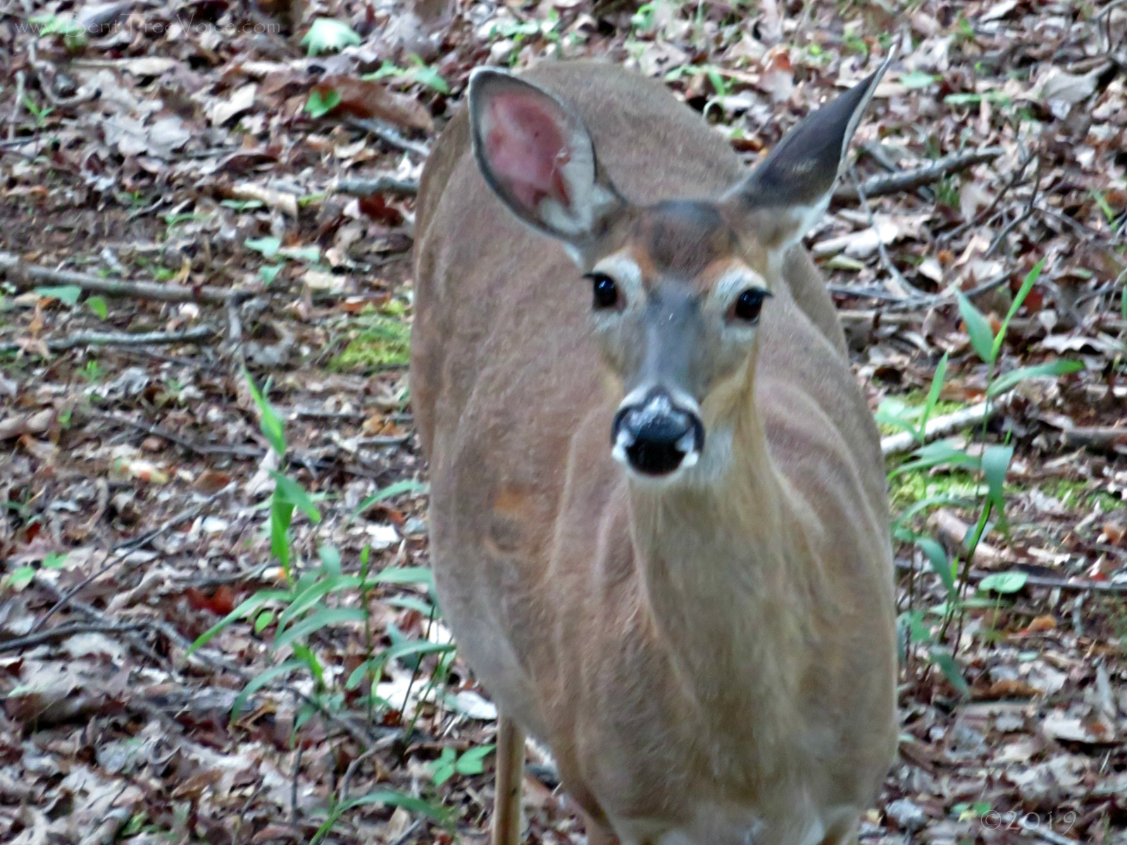 May 7, 2019 - Pregnant Doe in Bent Tree