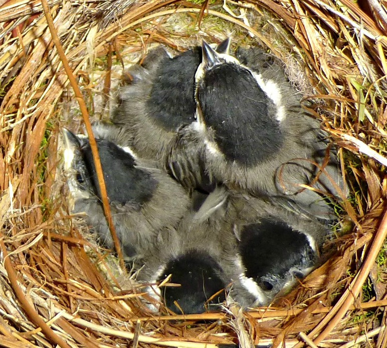 May 9, 2019 - a nest full of young chickadees in Bent Tree