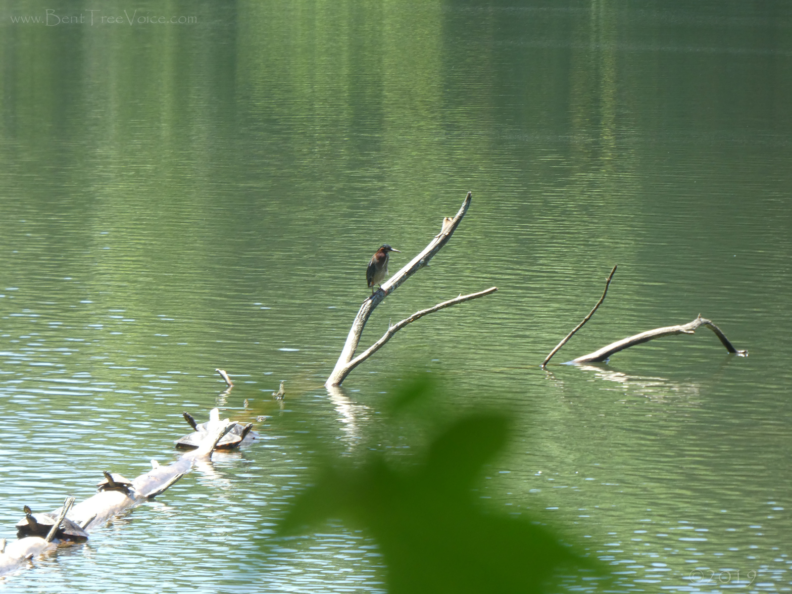 May 14, 2019 - Green Heron and Turtles in Bent Tree