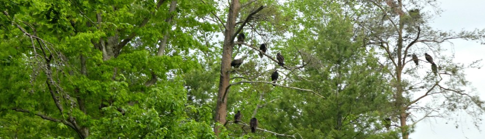 cropped-2019-0428-vultures-in-trees-header.jpg