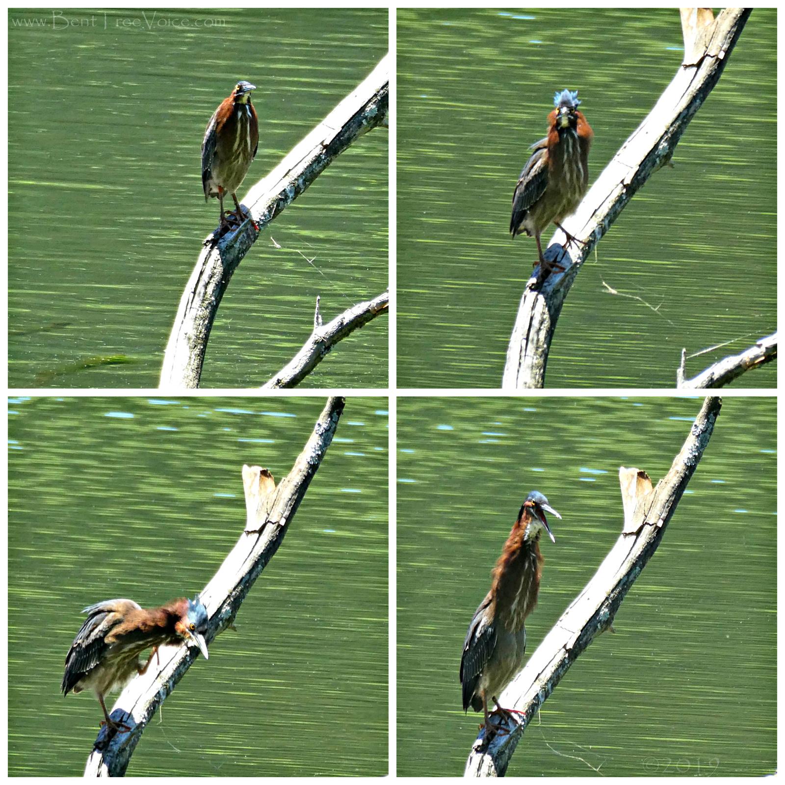 May 14, 2019 - Green Heron in Bent Tree