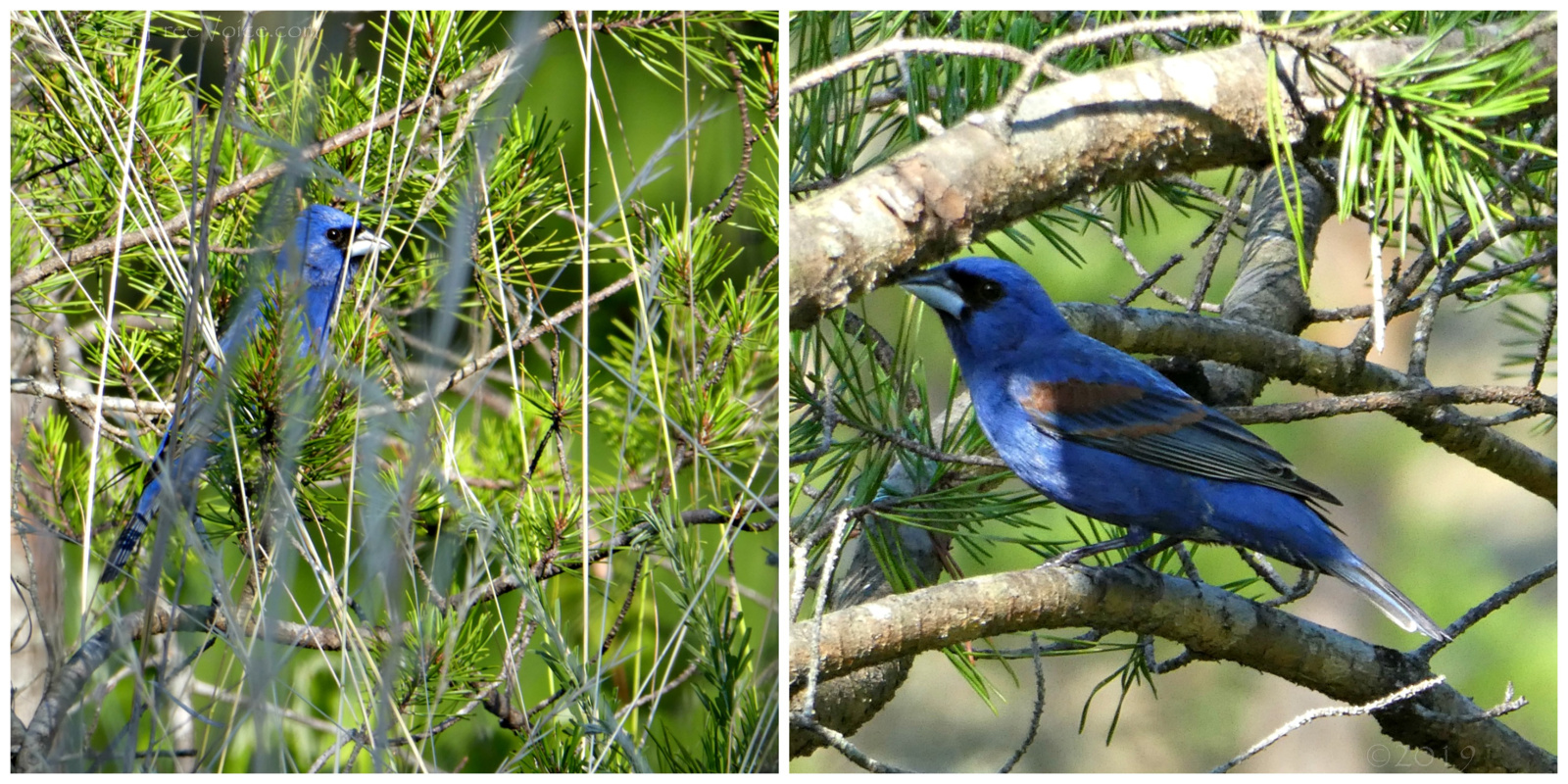 May 25, 2019 - Blue Grosbeak in Bent Tree