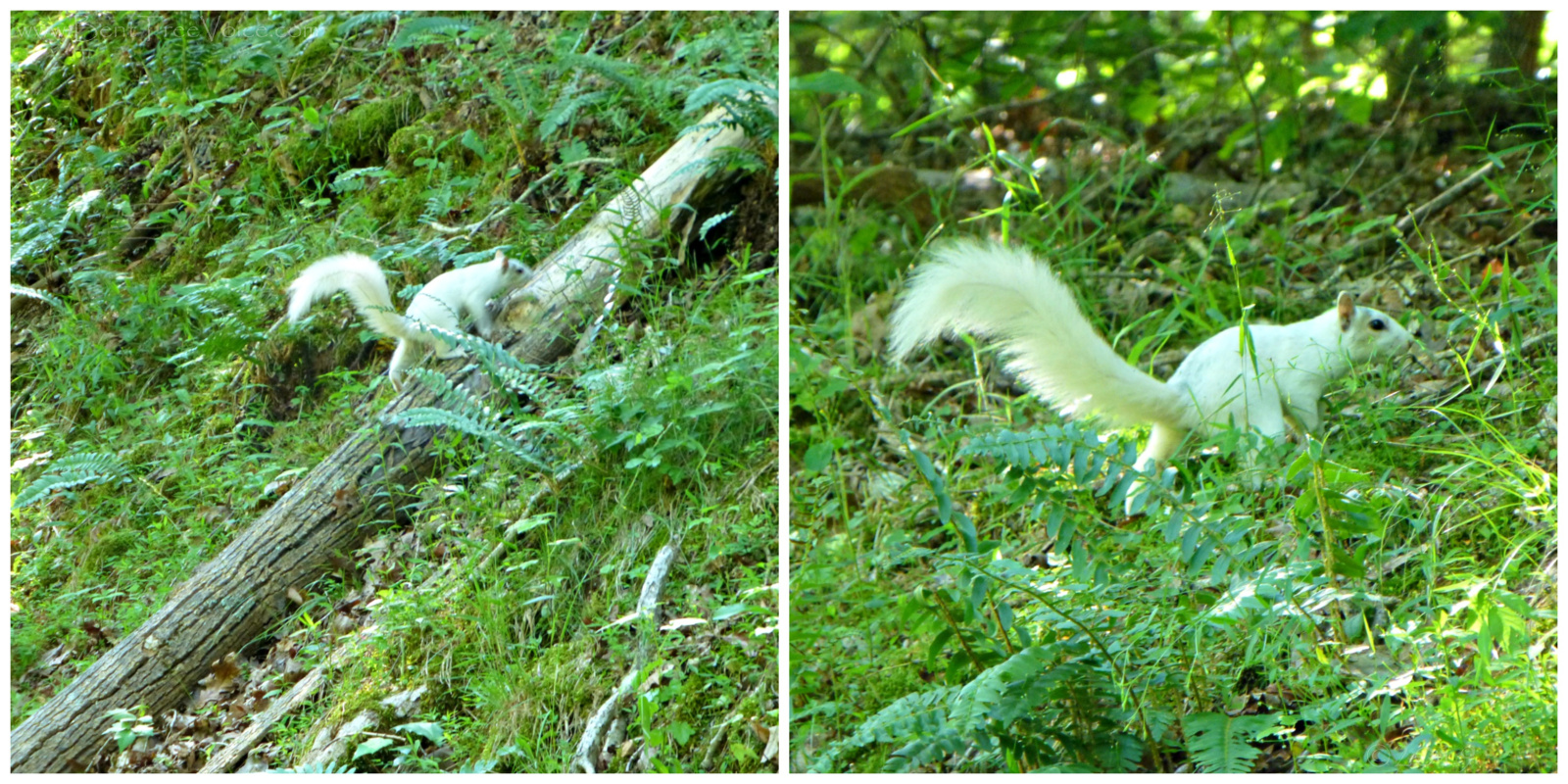 May 26, 2019 - White Squirrel in Bent Tree
