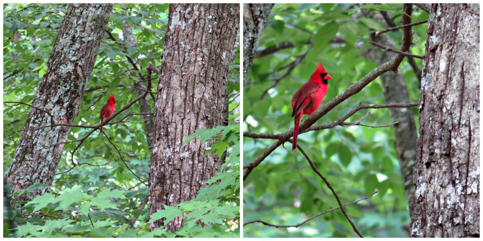 May 27, 2019 - Red Cardinal