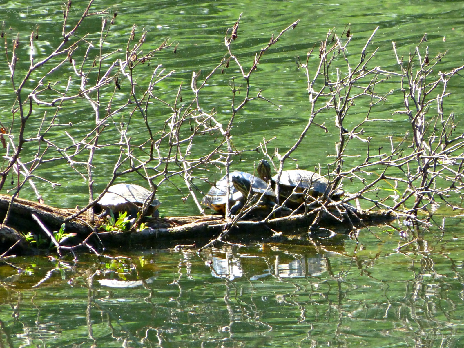 June 17, 2019 - Turtles, pond on Hole 7 in Bent Tree