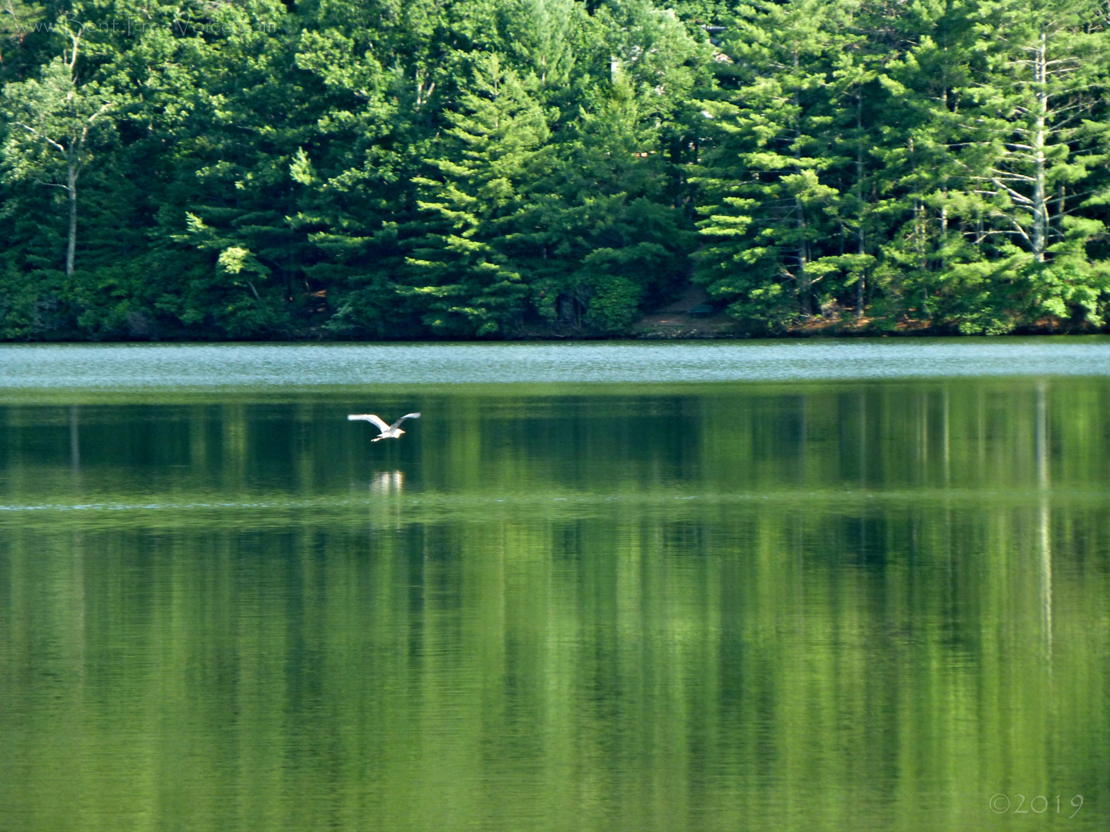 June 21, 2019 - Blue Heron flying over Lake Tamarack
