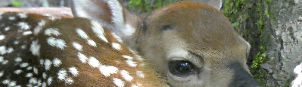 cropped-2019-0617-fawn-closeup-header.jpg