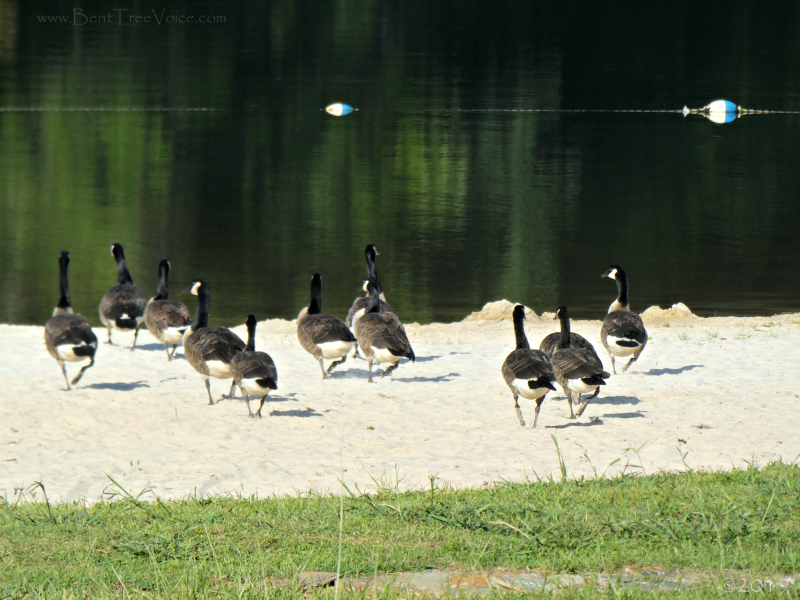 July 7, 2019 - Canada Geese on the Bent Tree beach