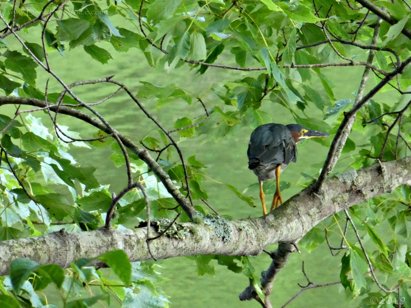 July 13, 2019 - Another Green Heron in Bent Tree