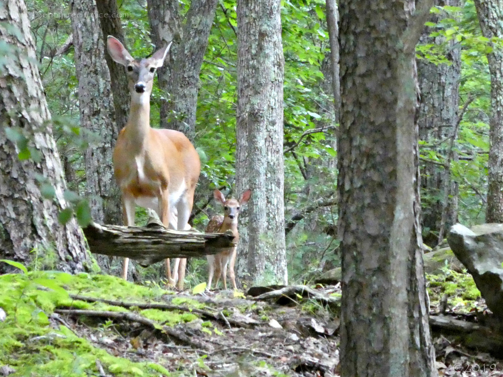 July 17, 2019 - Doe and Fawn strike the same pose in Bent Tree