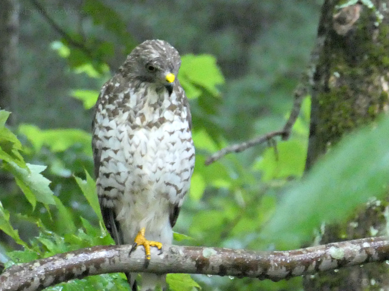 July 19, 2019 - A hawk in Bent Tree