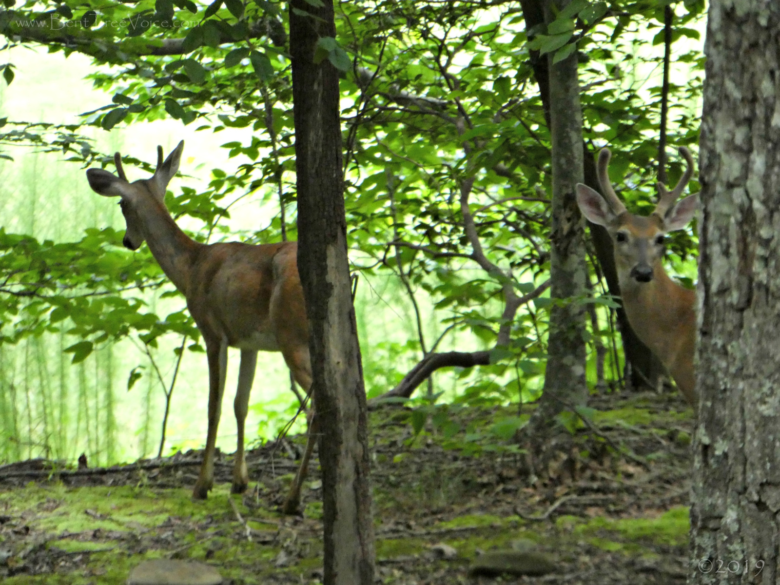 August 10, 2019 - Two Bucks in Bent Tree