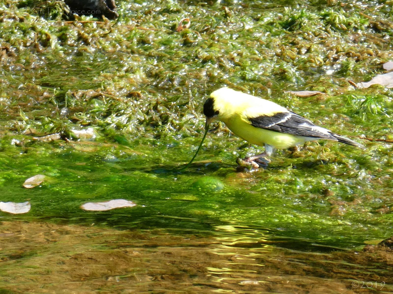 August 18, 2019 - Goldfinch slurping algae in Bent Tree