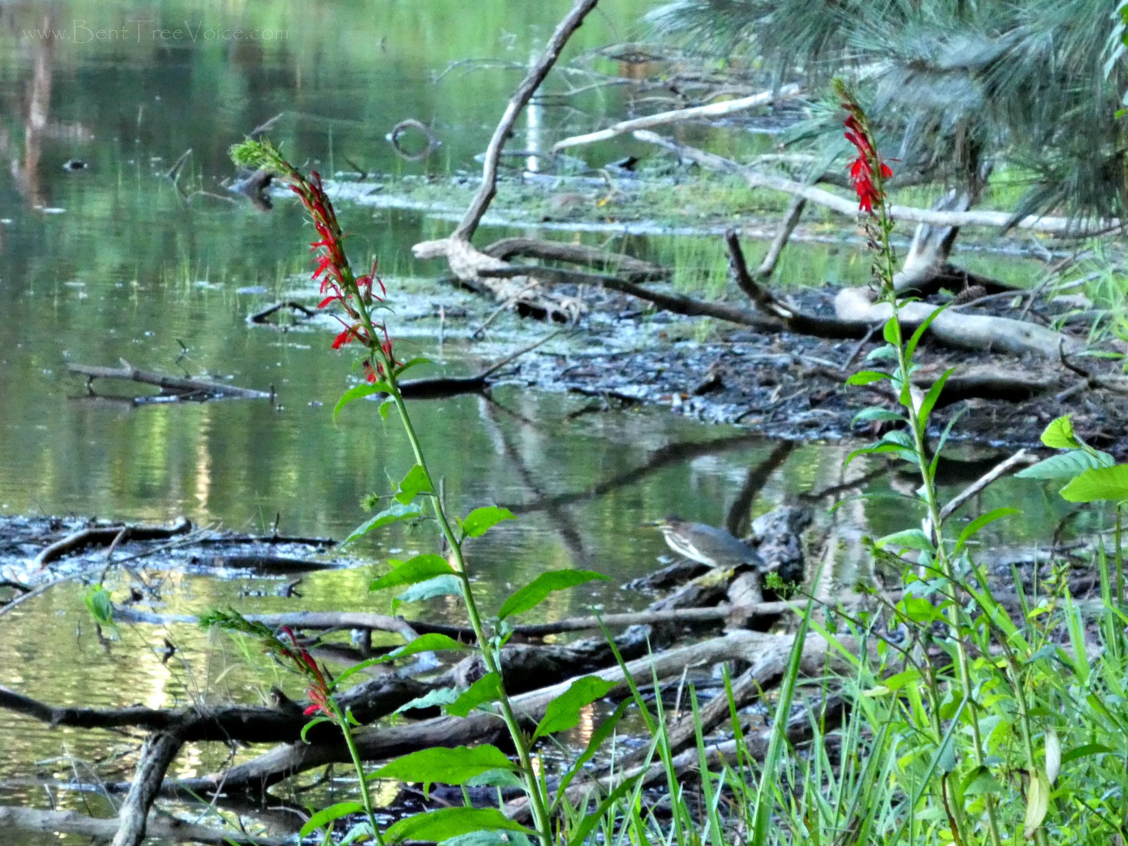 August 18, 2019 - Cardinal flowers (and a green heron) along Lake Tamarack in Bent Tree