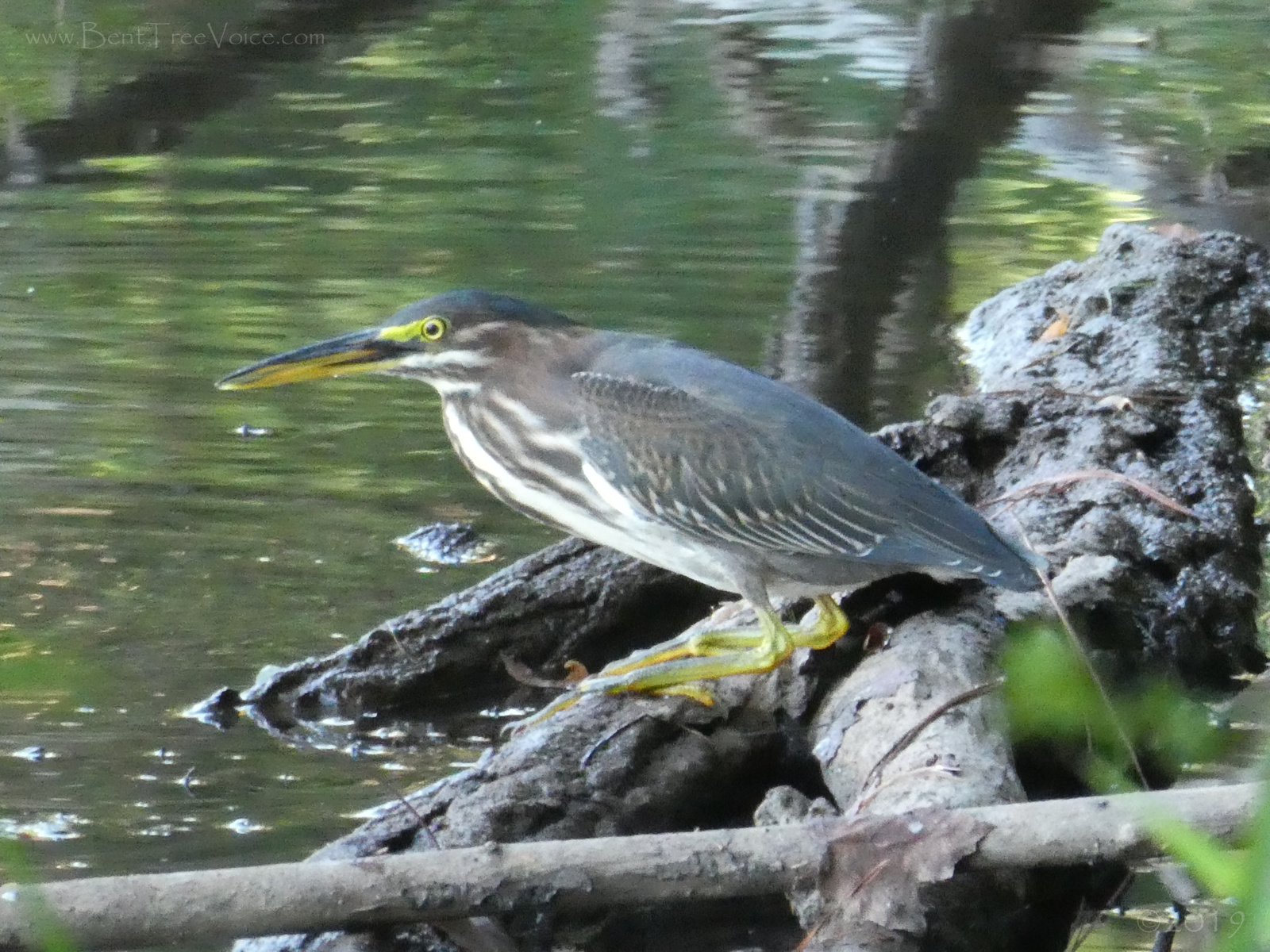 August 18, 2019 - closeup of the green heron