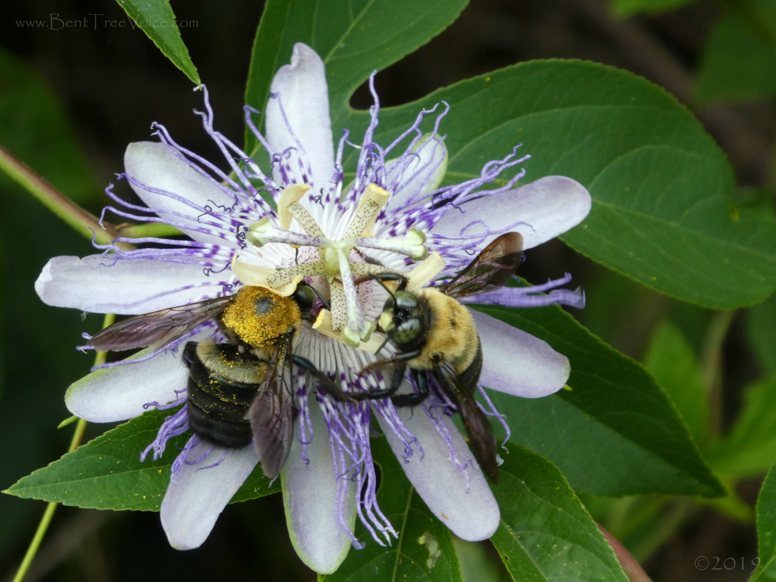 August 21, 2019 - Passionflower and bees in Bent Tree